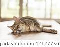 tabby cat sleep 42127756
