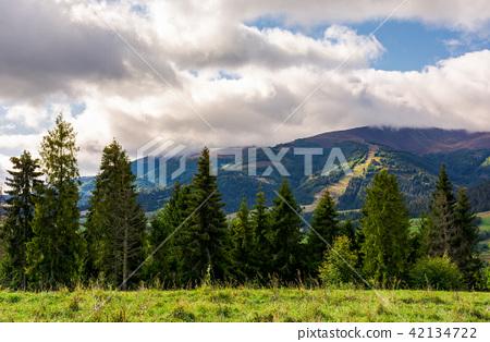 spruce forest in summer landscape 42134722