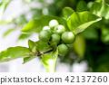 식물, 열매, 과실 42137260