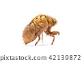 Insect life cycle Moult of Cicada 42139872