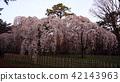 kyoto imperial palace, kyoto imperial palace garden, cherry blossom 42143963