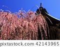 yuuki shrine, weeping japanese apricot, weeping plum 42143965