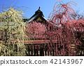 yuuki shrine, weeping japanese apricot, weeping plum 42143967