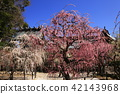 yuuki shrine, weeping japanese apricot, weeping plum 42143968