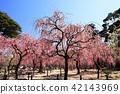 yuuki shrine, weeping japanese apricot, weeping plum 42143969