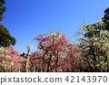 yuuki shrine, weeping japanese apricot, weeping plum 42143970