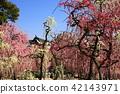 yuuki shrine, weeping japanese apricot, weeping plum 42143971