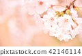 벚꽃 벚꽃 42146114