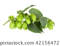 Fresh green hop branch, isolated on a white background. Hop cones for making beer and bread. Close 42156472