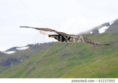 Wild bullhead eagle (Hakutouwashi, American Eagle, Bald eagle) 42157993