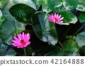 pink lotus flower with green leaves in pond 42164888
