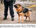 German, Shepherd, Dog 42170765