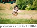 Sheltie, animal, dog 42171066