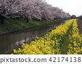 riverside tour, cherry blossom, cherry tree 42174138