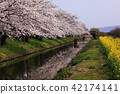 riverside tour, cherry blossom, cherry tree 42174141