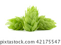 Fresh green hop branch, isolated on a white background. Hop cones for making beer and bread. Close 42175547