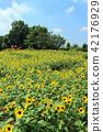 해바라기, 여름, 해바라기 밭 42176929