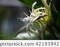 crinum, crinum lily, summer 42193942