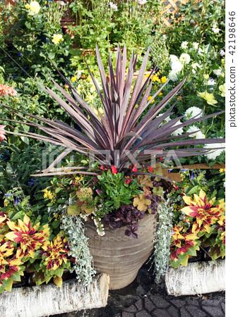 Dracaena · Cordilline gardening flowers 42198646