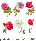 Rose set watercolor 42209064
