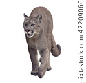 Florida panther or cougar painting 42209066