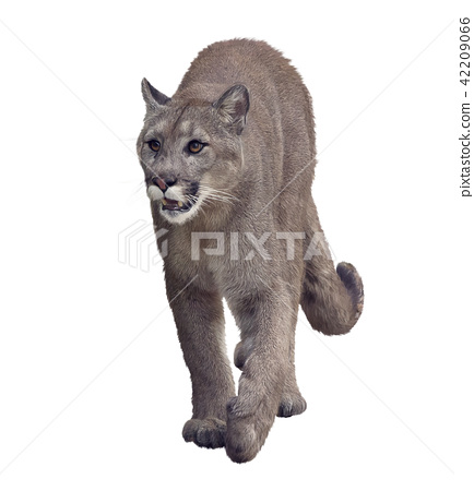 Florida panther or cougar painting 42209066