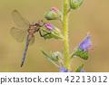 Macro shot of dragonfly Keeled skimmer 42213012