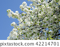 Ornamental pear flower 42214701
