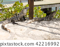 Iguana of Cancun 42216992