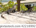 iguana, reptile, animal 42216992