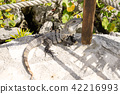 Iguana of Cancun 42216993