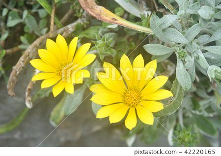 식물 : 가자 니아 · 리겐스 국화과 42220165