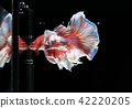 Fighting fish , beautiful fish 42220205