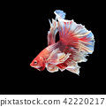 Fighting fish , beautiful fish 42220217