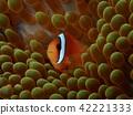 anemone fish, anemonefish, clown anemonefish 42221333