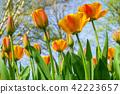 Beautiful tulips fields in the Netherlands 42223657