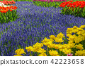 Beautiful tulips fields in the Netherlands 42223658