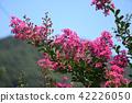 crape myrtle, lagerstroemia indica, pink 42226050