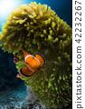 小丑anemonefish和海葵 42232267