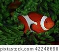 Ocellaris Clownfish, diving, anemone 42248698