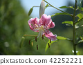 japanese lily, tanabata valley, lily 42252221
