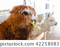 Alpacas in Farm Eating Leaves 42258083