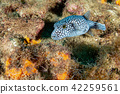 spotted puffer porcupine box fish while diving 42259561