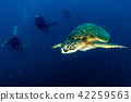 sea, turtle, wildlife 42259563