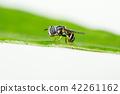 Big head hoverfly 42261162