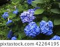 hydrangea, bloom, blossom 42264195
