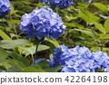 hydrangea, bloom, blossom 42264198