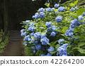 hydrangea, bloom, blossom 42264200