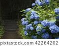 hydrangea, bloom, blossom 42264202