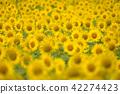 ทุ่งทานตะวัน,ดอกไม้,ทุ่งดอกไม้ 42274423